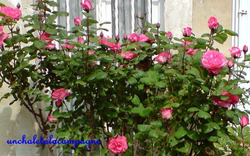 rosierrose1.jpg