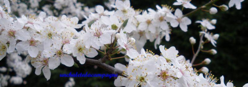 fleursdeprunier2.jpg