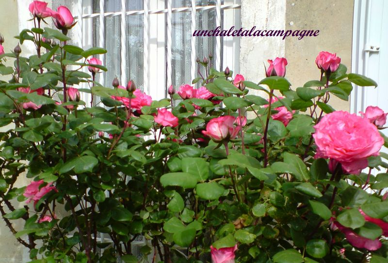 rosierrose.jpg