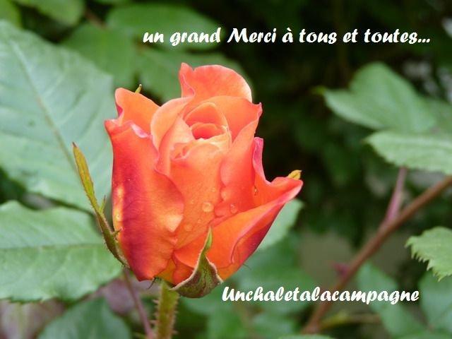 Rose-orange-1